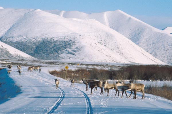 caribou on highway, Dempster Highway, snow, winter